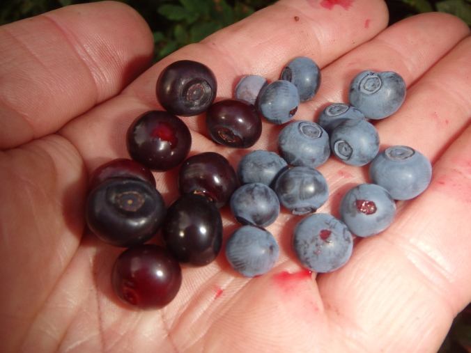Huckleberries V Blueberries